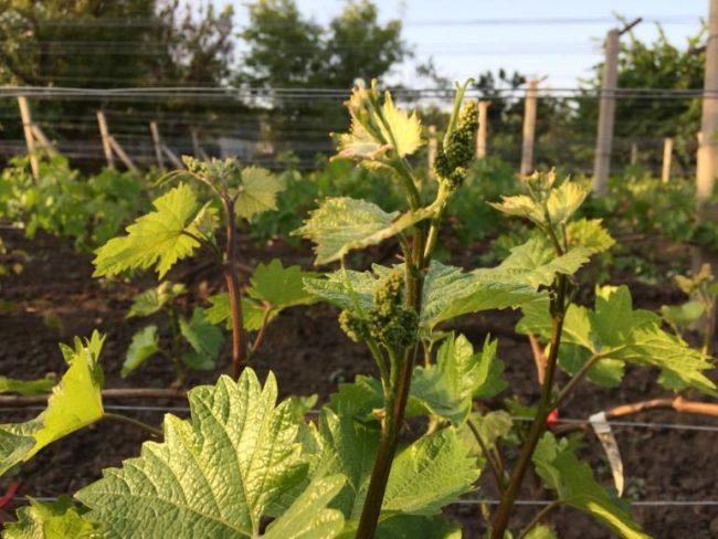 Молодые побеги и обоеполые соцветия гибридного винограда сорта Краса Балок