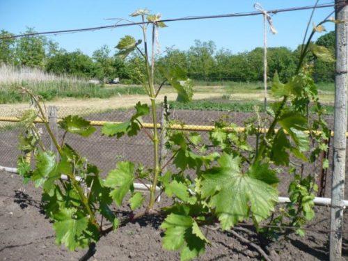 Быстрорастущие побеги молодого винограда на шпалере и забор из сетки-рабицы на заднем плане