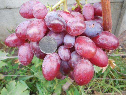 Кисть винограда столового сорта Подарок Ирине с плодами удлиненно-отвальной формы