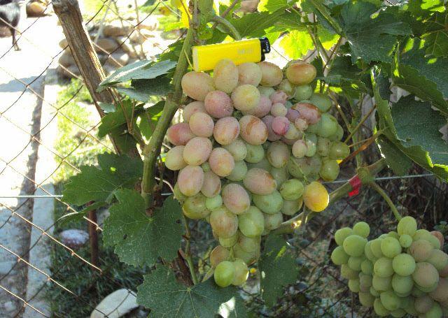 Грозди столового винограда сорта Подарок Ирине в начальной стадии окраса плодов