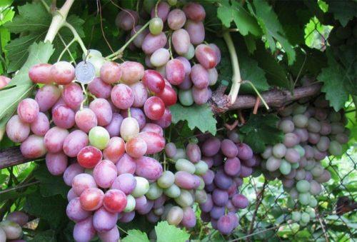 Виноградная лоза сорта Подарок Ирине с гроздьями созревающих ягод