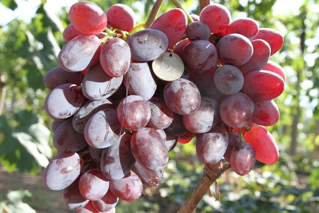 Грозди винограда гибридного сорта Подарок Ирине и монетка между ними