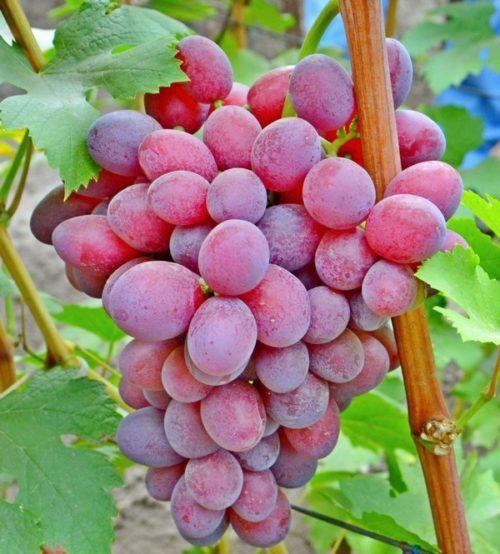 Крупная гроздь столового винограда Подарок Ирине с ягодами ярко-фиолетового окраса