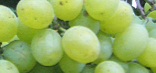 Виноград сорта подарок Запорожью