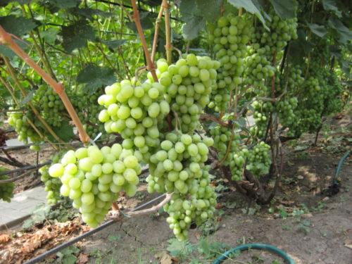 Виноградная лоза столового сорта Новый Подарок Запорожью и кисти созревающих ягод