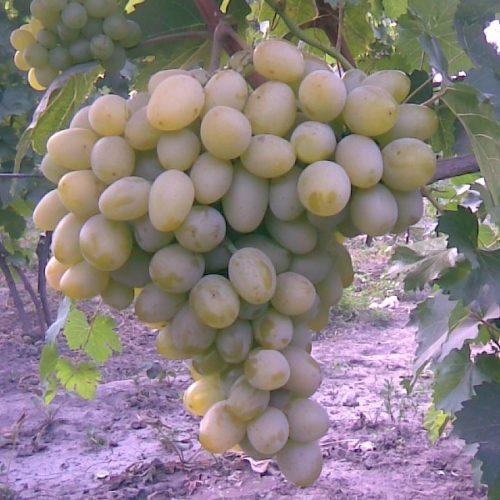 Крупная гроздь винограда столового сорта Новый Подарок Запорожью с плодами желто-зеленого цвета