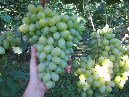 Кисть винограда весом более килограмма сорта Новый Подарок Запорожью