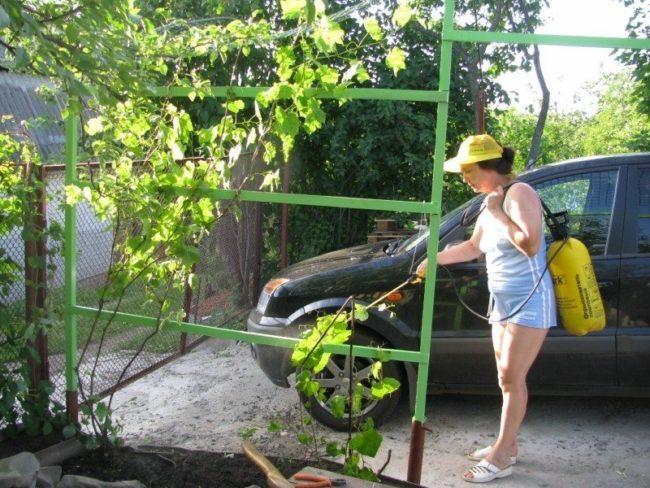 Женщина стоит около машины, опрыскивает виноград
