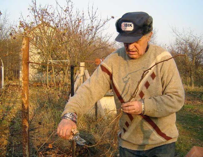 Виноградарь обрезает лишние корни саженца садовым секатором