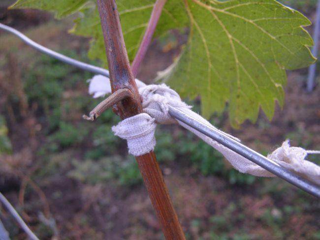 Подвязка одеревеневшей виноградной лозы к нержавеющей проволоке шпалеры
