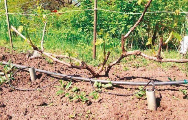 Самодельная система прикорневого полива взрослого куста винограда