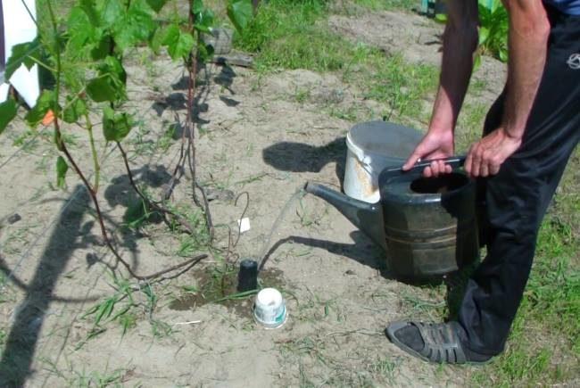Подкормка куста винограда водным раствором минерального удобрения через поливную трубу