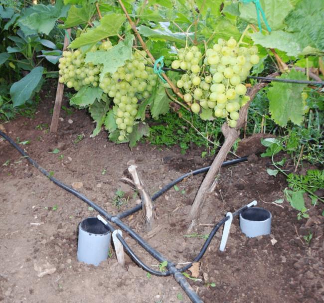 Корневой полив винограда Восторг