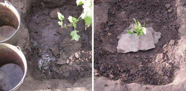Весенняя посадка молодого саженца винограда в стандартную яму