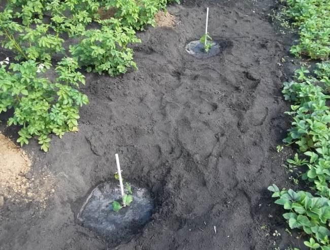 Молодые саженцы винограда, высаженные весной в открытый грунт с интервалом в два метра