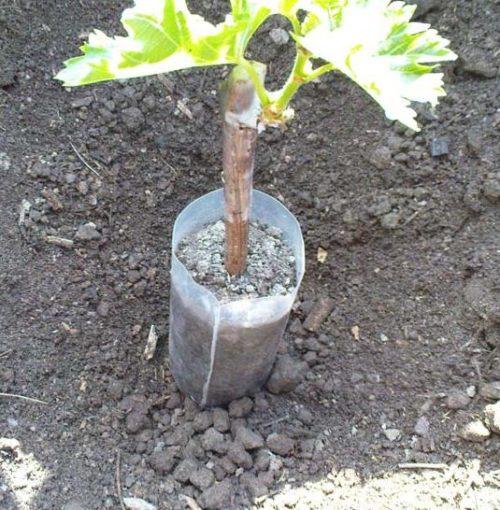 Пластиковый стаканчик с саженцем винограда в посадочной лунке