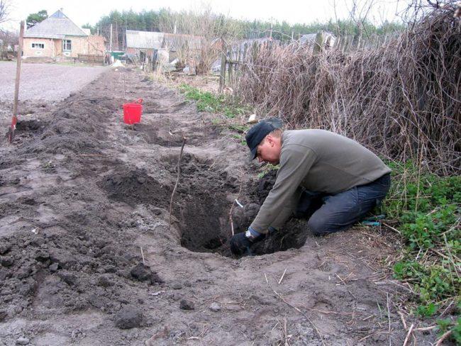 Посадка опытным садоводом саженца винограда в заглубленную яму