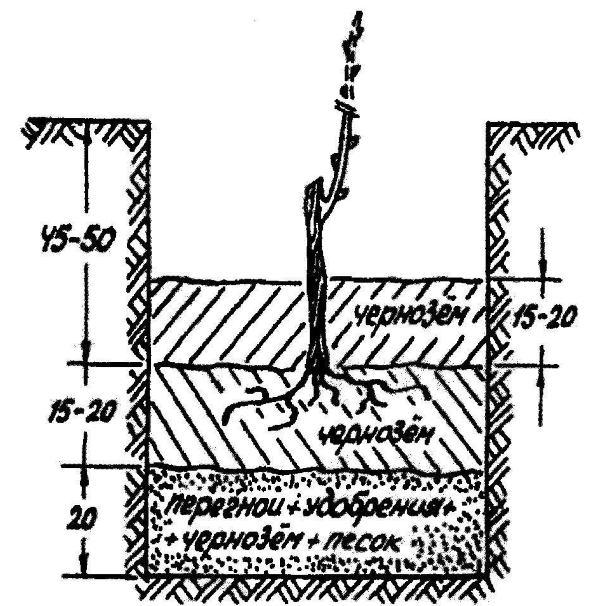 Схема и размеры стандартной посадочной ямы для саженца винограда
