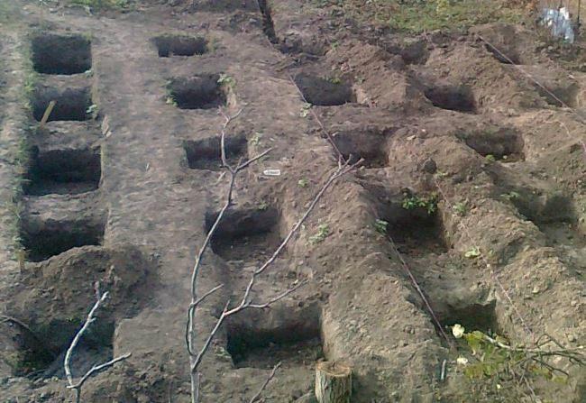 Посадочные ямы глубиной в полметра для закладки нового виноградника