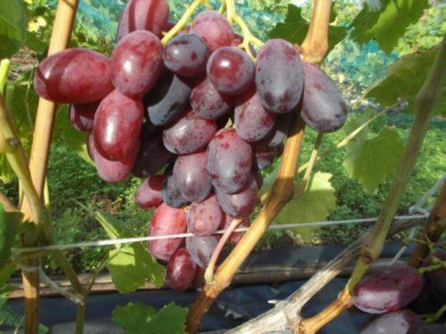 Конусовидная гроздь винограда небольшого размера с вытянутыми плодами