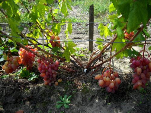 Куст гибридного винограда Потомок Резаната столового предназначения