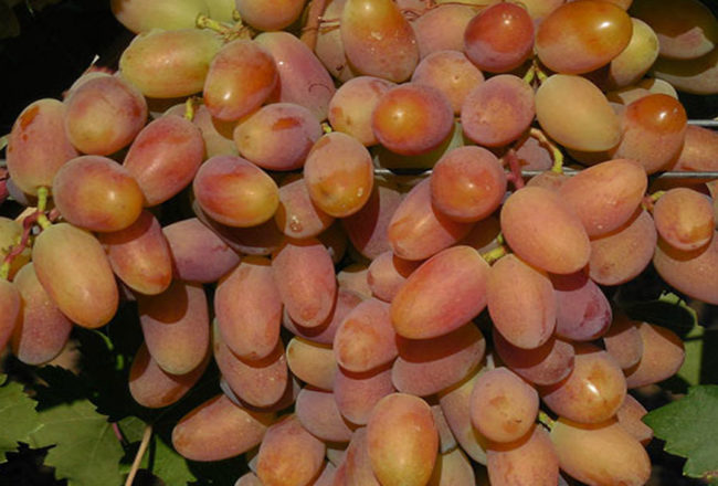 Ягода гибридного винограда столового сорта Потомок Ризамата селекции Капелюшного