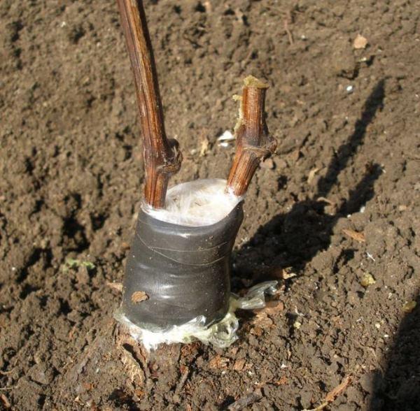 Черенки сортового винограда, привитые на подземную часть старого куста