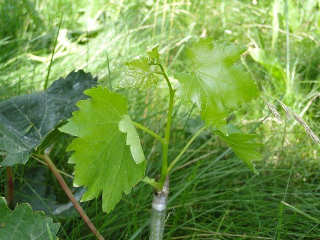 Молодые побеги с нежно-зелеными листьями из привитого черенка винограда