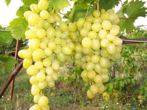 Две большие грозди зелёного винограда