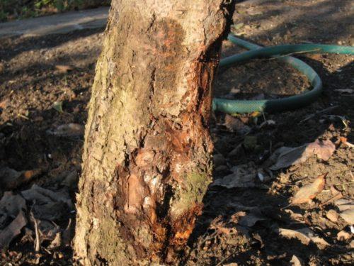 Стебель винограда с трещиной и наростом рядом с корнем растения