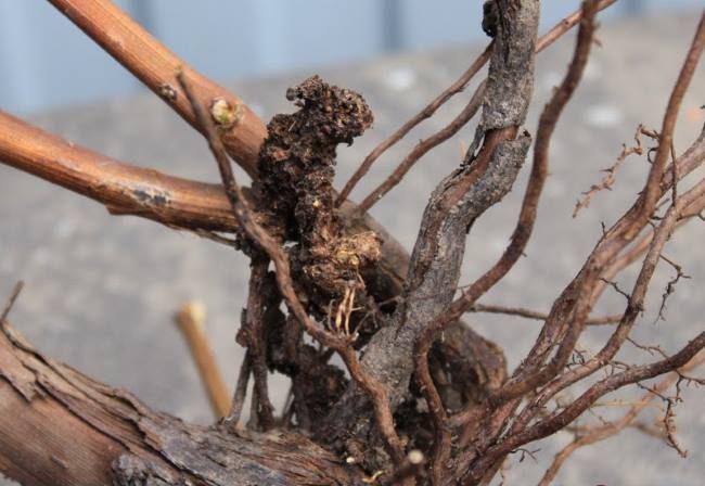 Сухие ветки винограда на кусту, погибающим от бактериального рака