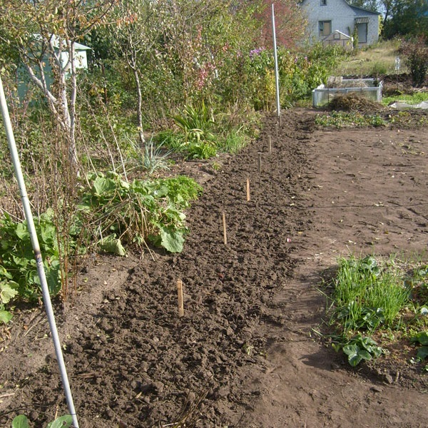 Разметка вскопанного участка под посадку саженцев винограда и колышки в земле