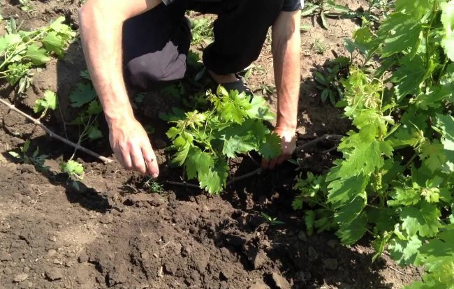 Укладка виноградной лозы на поверхность земли и засыпка грунтом для укоренения