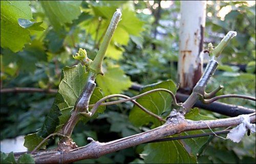 Одеревеневший стебель винограда с привитыми зелеными черенками