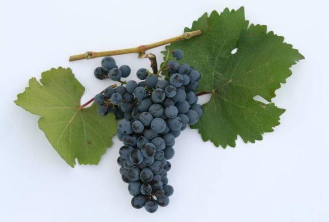 Гроздь винограда сорта Рубин Азос с шаровидными ягодами темно-синего окраса и два зеленых листа