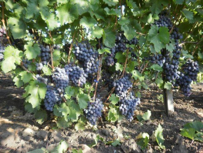 Куст столового винограда гибридной формы Руслан под нагрузкой