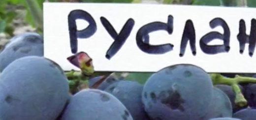 Спелая гроздь винограда Руслан и табличка