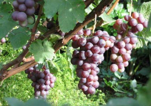Созревающие грозди винограда сорта Русский Ранний селекции Потапенко