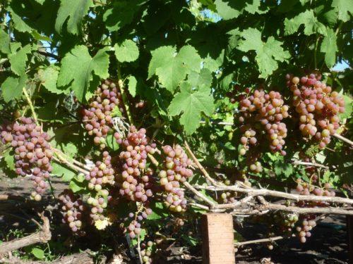 Куст винограда сорта Русский Ранний и кисти ягод темно-розового цвета с сизоватым оттенком