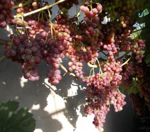 Виноградная лоза под нагрузкой гибридной формы Ранний Русский
