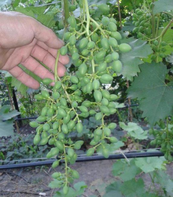 Кисть столового винограда с завязями зеленых плодов и рука садовода
