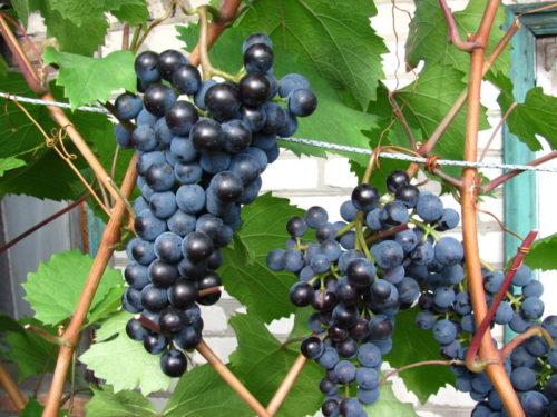 Грозди винограда технического предназначения морозостойкого сорта Каберне Северный