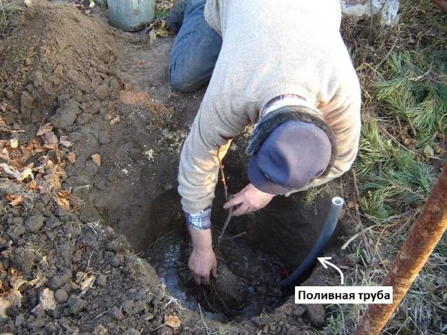 Посадка саженца винограда опытным садоводом в осенний период