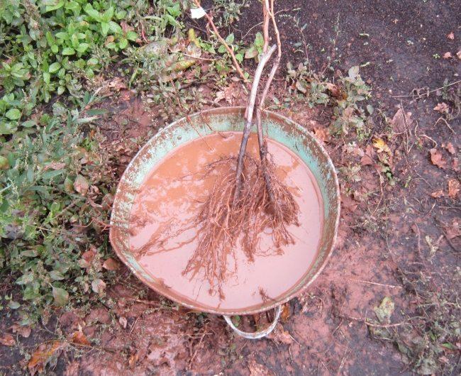 Саженцы винограда с открытыми корнями в тазике с глиняным раствором
