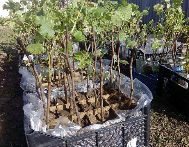 Выращенные в питомнике виноградные саженцы и пластиковые ящики