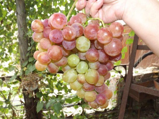 Рука человека держит большую ветвь розового винограда