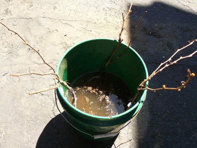 Саженцы винограда Велес в ведре с водой