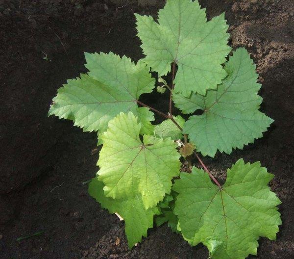 Молодой саженец винограда в посадочной яме и темно-зеленые листья с красноватыми прожилками