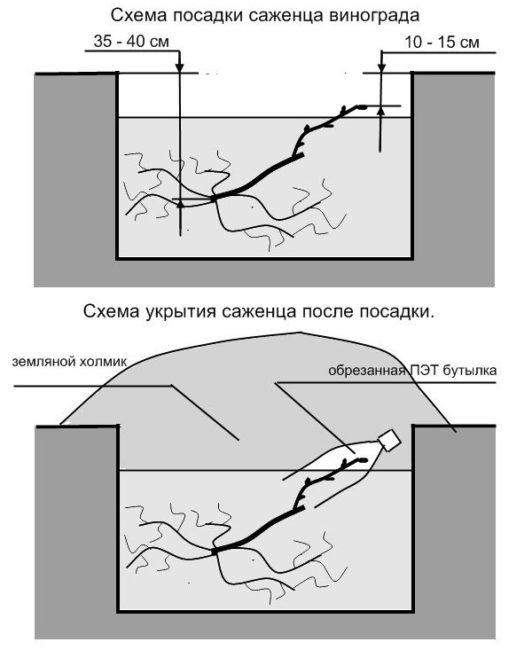 Схема посадочной ямы для саженца винограда и вариант зимнего укрытия