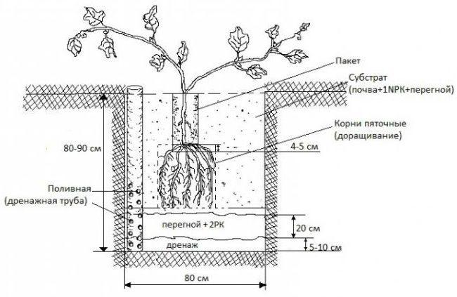 Схема посадочной ямы для винограда с дренажом и трубой прикорневого полива